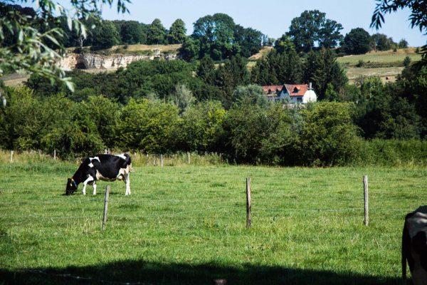 Koe in wei uitzicht vakantiehuisjes